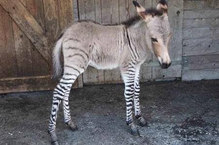 Cebrasno Khumba sigue siendo la admiración en zoológico de Reynosa