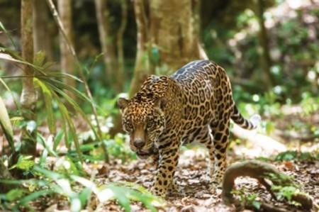 Comparan existencia de jaguar en Nayarit con Brasil