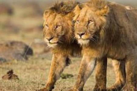 Ahora matan a Jericó, hermano del león Cecil