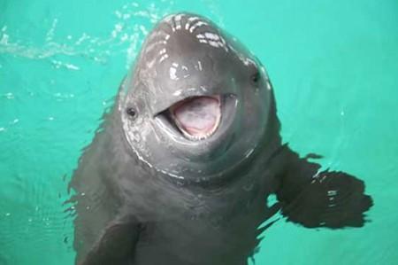 Delfines de la Semarnat salvarán a 'vaquita marina'