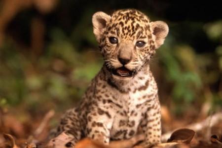 Jaguar en conservación, avanza programa en Chiapas
