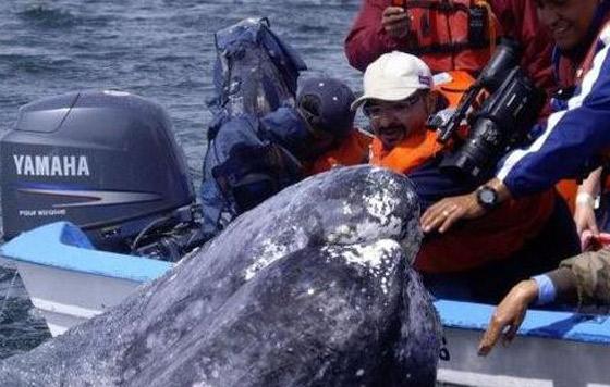 Aumenta número de ballena gris en complejo lagunar de Baja California Sur