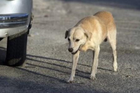 Peligra erradicación del gusano de Guinea en Chad por los perros