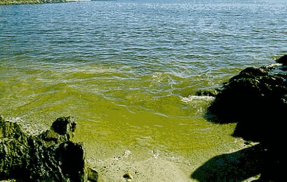 Destinan más recursos para combatir microalgas tóxicas en el mar