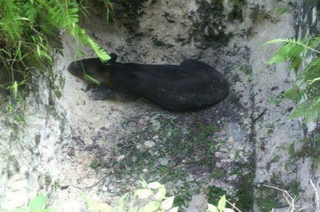 Cae tapir a fosa en QR; es una especie en peligro de extinción