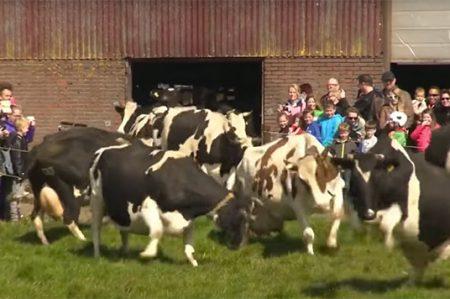 Vacas brincan de felicidad al ser liberadas