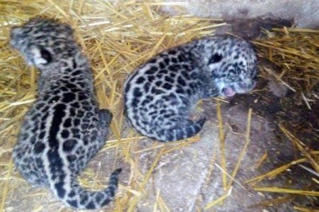 Nacen dos jaguares en San Blas, Nayarit