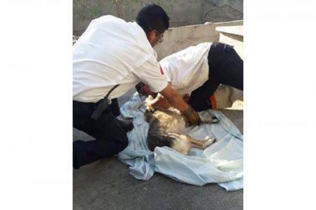 Paramédicos salvan a perra que inhaló monóxido de carbono (VIDEO)