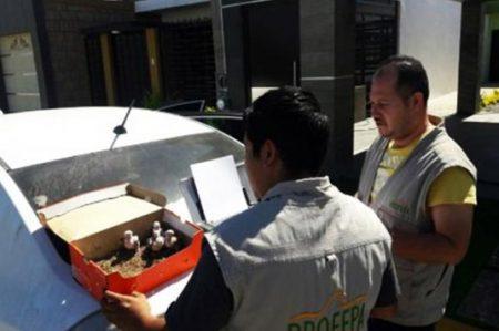 Aseguran en Sinaloa pericos que se vendían ilegalmente por Facebook