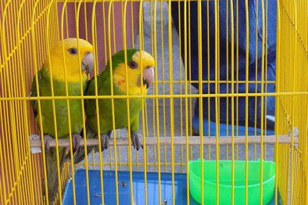 Por venta de pericos mexicanos se va dos años a la cárcel