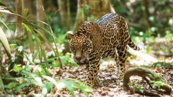 Profepa presenta demanda por muerte de jaguar en Yucatán