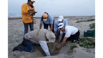Colabora Matamoros en el cuidado y conservación de la Tortuga Lora