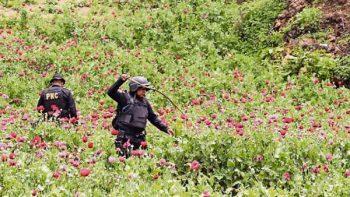 Campesinos guatemaltecos cambian papa por amapola