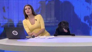 Simpático labrador 'roba cámara' en noticiero de Rusia (VIDEO)