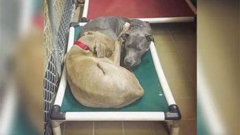 Un par de perros sin hogar se negaban a dormir separados en el refugio y son adoptarlos juntos