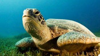 Científicos del IPN usan código de barras para estudio de la tortuga lora