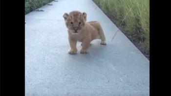 Cachorro de león fascina a internet con su 'rugido'