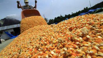 Guerrero ocupa sexto lugar en producción de maíz