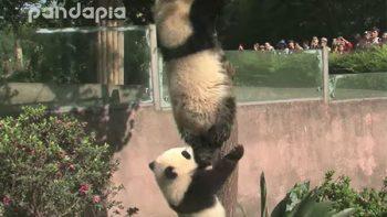 Un par de pandas juguetones hacen travesuras en zoológico de China (VIDEO)