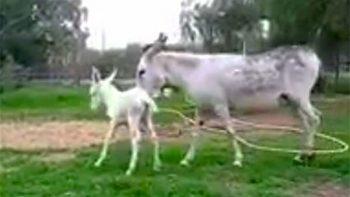IPN busca nombre para el burro blanco recién nacido en Zacatenco