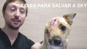 Sky, el perro al que le destrozaron media cabeza y que milagrosamente fue salvado por veterinarios (VIDEOS)