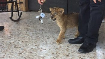 Decomisan un cachorro de león en Guadalupe