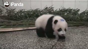 Bebé panda con ataque de hipo 'enternece' las redes sociales