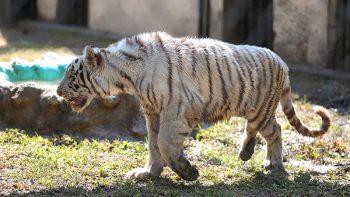 Atrae a cientos de visitantes tigre de bengala en La Pastora