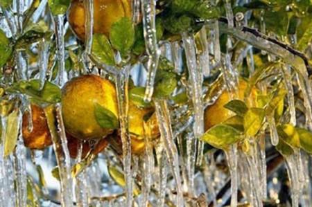 Evalúan daño a citricultura tamaulipeca por heladas