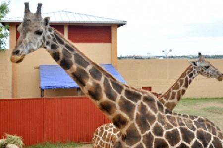 Muere Hanzel, jirafa de Nuevo Laredo
