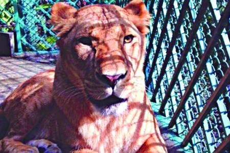 Realizan eutanasia a Leona en zoológico de Chapultepec; tenía tumor