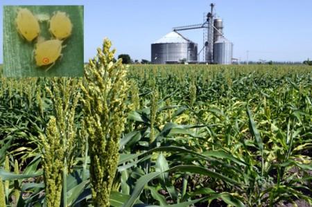 Pulgón amarillo afecta a 300 hectáreas de sorgo en Victoria