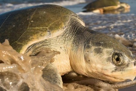 Tortugas marinas, jaguares, cocodrilos, protegidos en Tamaulipas