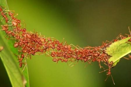 Hormigas legionarias construyen dinámicamente puentes con sus cuerpos