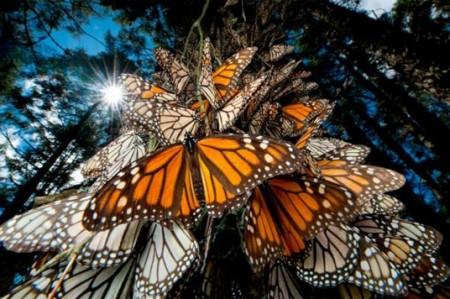 Exigen obras para el santuario de la Mariposa Monarca en Ocampo