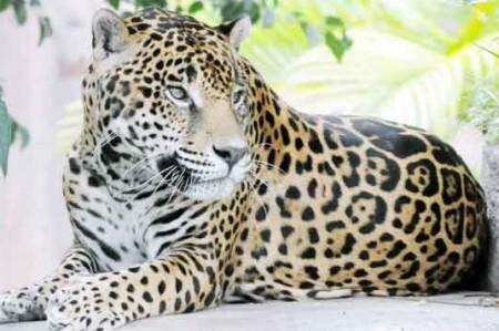 Protegen al jaguar en reserva de 'El Cielo'
