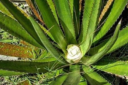 Politécnico desarrolla empaques inteligentes con bagazo de agave