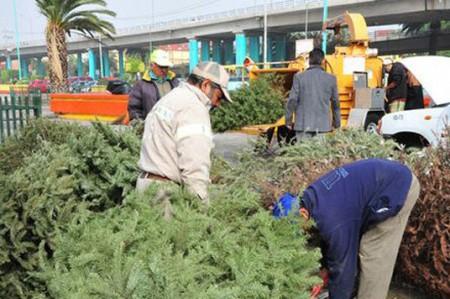 Inicia reciclaje de árboles de navidad