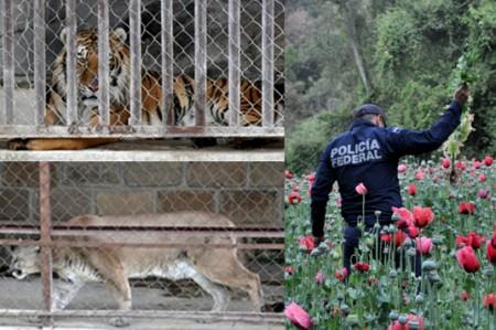 Policía Federal destruye campo de amapola y rescata dos felinos exóticos; video