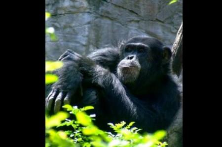 Muere el chimpancé 'Lio' en el Zoológico de Chapultepec