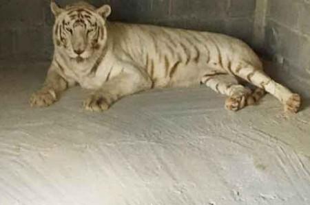 Llegan dos tigres blancos a zoológico de Reynosa