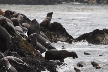 Drones se usan para censar lobos marinos
