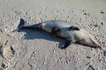 Hallan delfín muerto en playas de Yucatán