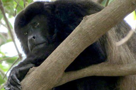 Estudio busca proteger primates mexicanos en peligro de extinción