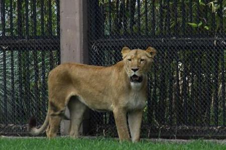 Una leona murió en zoológico de Chapultepec hace 15 días