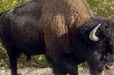 Muere otro animal en Chapultepec; ahora fue un bisonte