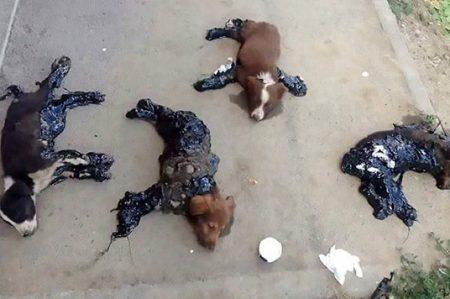 Crueldad animal: cuatro cachorros son quemados con chapopote caliente