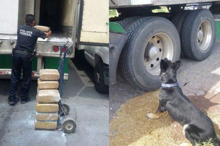 Policía Federal con apoyo canino localiza dos toneladas de marihuana en un camión en Saltillo