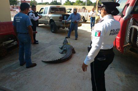 Rescatan a cocodrilo de más de dos metros de largo en Madero