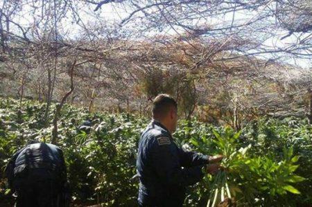Hallan el plantío de droga más grande de Ensenada